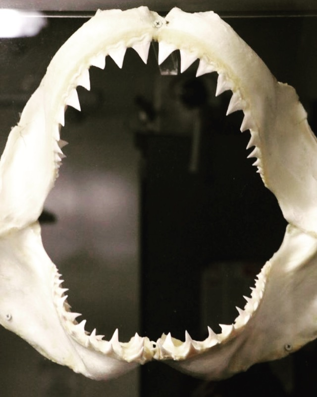 LBSU Shark Lab to analyze illegally obtained shark jaws for research.